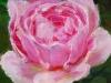 Olieverf Pink Lady 10x10 cm te koop