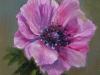 olieverf roze anemoon te koop