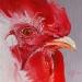 H20 Olieverfschilderij Haan10 x 10 cm te koop