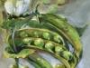 Doperwtjes olieverfschilderij maat 10x10x2 cm te koop