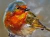 olieverf portret Red Robin 3, maat 10x10 cm (Verkocht)
