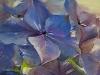 hortensia olieverf 15 x 15 cm (Verkocht)
