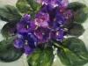 olieverf-Kaaps-viooltje-14x14-cm te koop