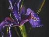 olieverf paarse-iris ( Verkocht)