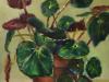 "olieverf-Begonia te koop. Begonia conchifolia ""Red Ruby"""