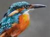 Olieverf-IJsvogel-op-boomtak-22x11-cm te koop