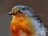 Olieverf red robin, maat 10x10 cm (Verkocht)